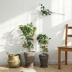 [단독 재고확보] 중대형 유주나무 & 중형 레몬오렌지나무