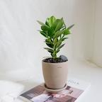 공기정화식물 크루시아 팽이토분 set
