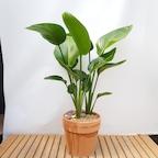 공기정화식물 극락조 독일엔틱토분set