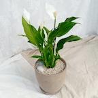 실내공기정화식물 스파트필름