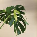 [초보자 추천] 실내 공기정화 식물 몬스테라(대형)