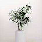 실내 공기정화식물 1위, 아레카야자/ 겐차야자 화분 (중형)
