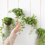 디시디아 행잉플랜트 마크라메 먼지먹는 식물