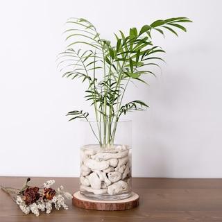 식물 수경재배 세트 테이블야자,산데리아